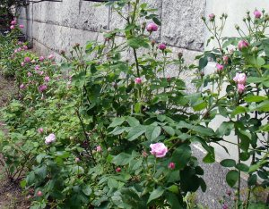 Ispahan, La Reine, Autumn Rose, Hermosa
