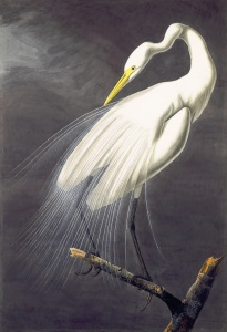 1863_18_030_GreatEgret