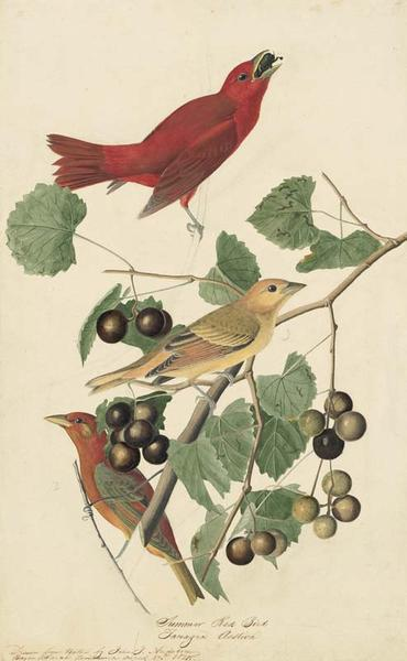 1863-17-44SummerTanager
